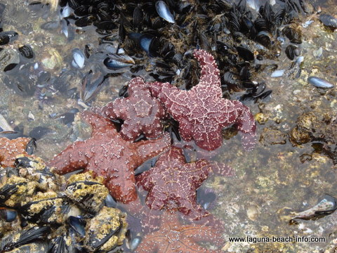 starfish at Crescent Bay Laguna Beach Tidepools