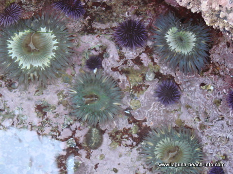 Anemones at Crescent Bay, Laguna Beach tidepools