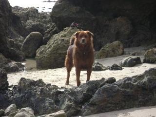 Dogs at the Beach, Laguna Beach Dog