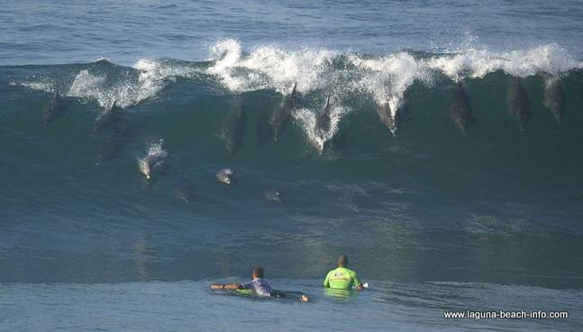 Dolphins in the waves Street Beach in Laguna Beach California