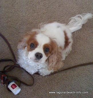 Callie, Laguna Beach Dog Friendly