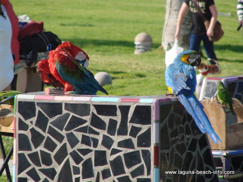 Parrots at Main Beach Park, Laguna Beach beach, California