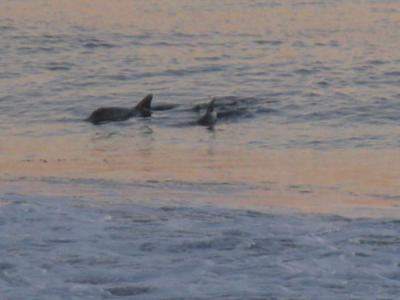 Dolphins Feeding off Main Beach