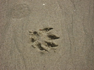 Pawprints on the Sand at Main Beach, Laguna Beach Dog