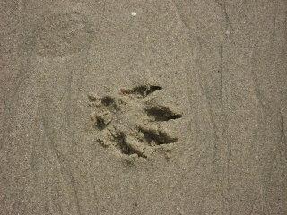 Pawprints on the Sand at Main Beach, Laguna Beach Dog