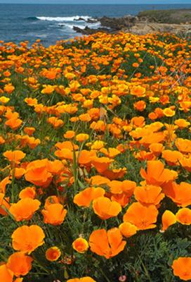 Bluff Poppies<br>by Gar Cropser